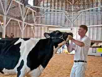 Mt Vernon, Wa – August 13 – Teen Shows Cow At Ffa County Fair Sh