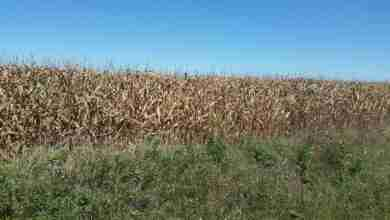 Photo of Harvest approaching, crops continue to be behind schedule